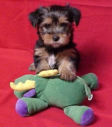 Reesey as a baby pup